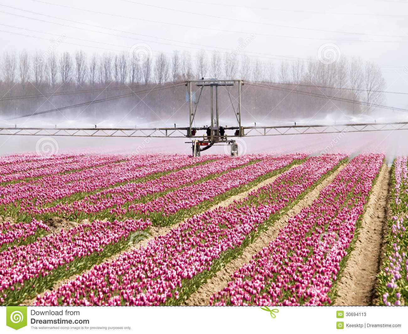 Spray machine over a tulip field