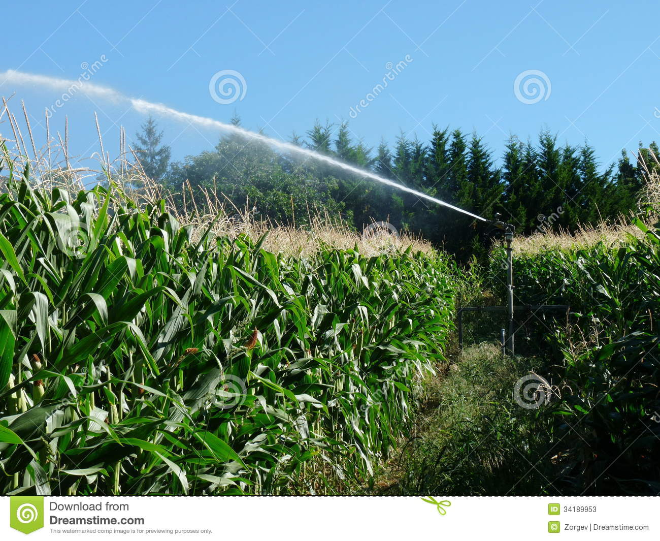 A Sprayer Spraying Water In A Cornfield Stock Image ...
