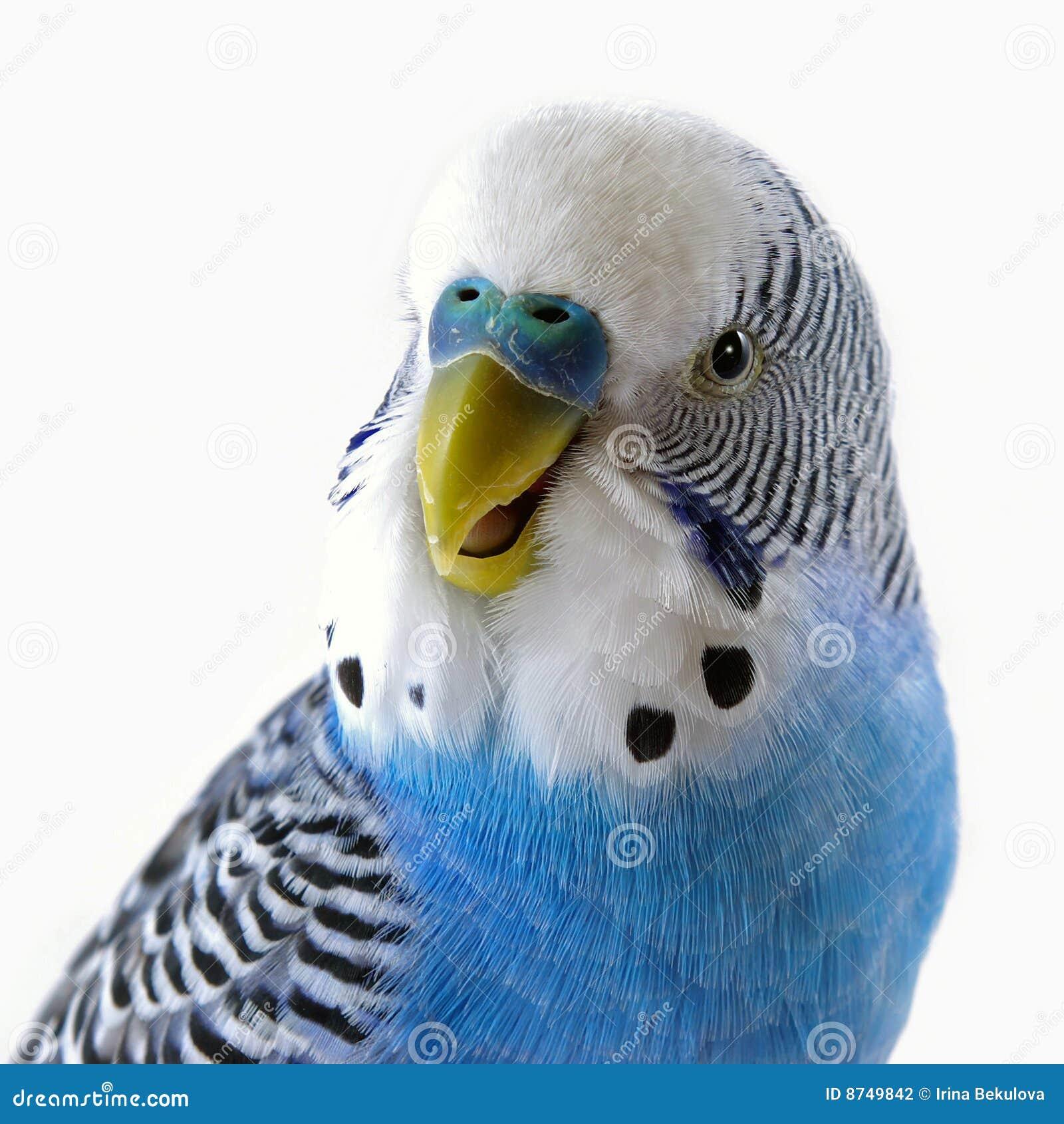 Sprechender blauer wellenförmiger Papagei. Das Portrait.