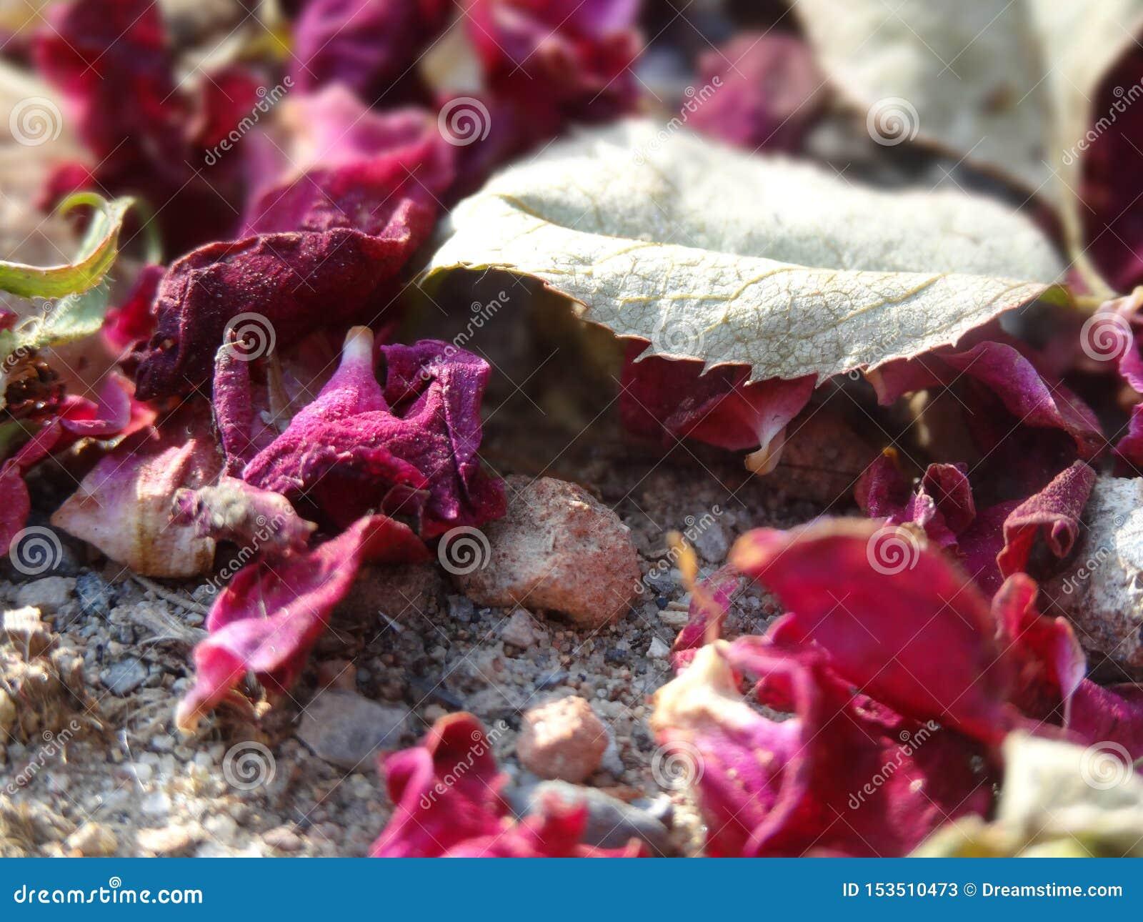 Spridda röda rosor med ett blad