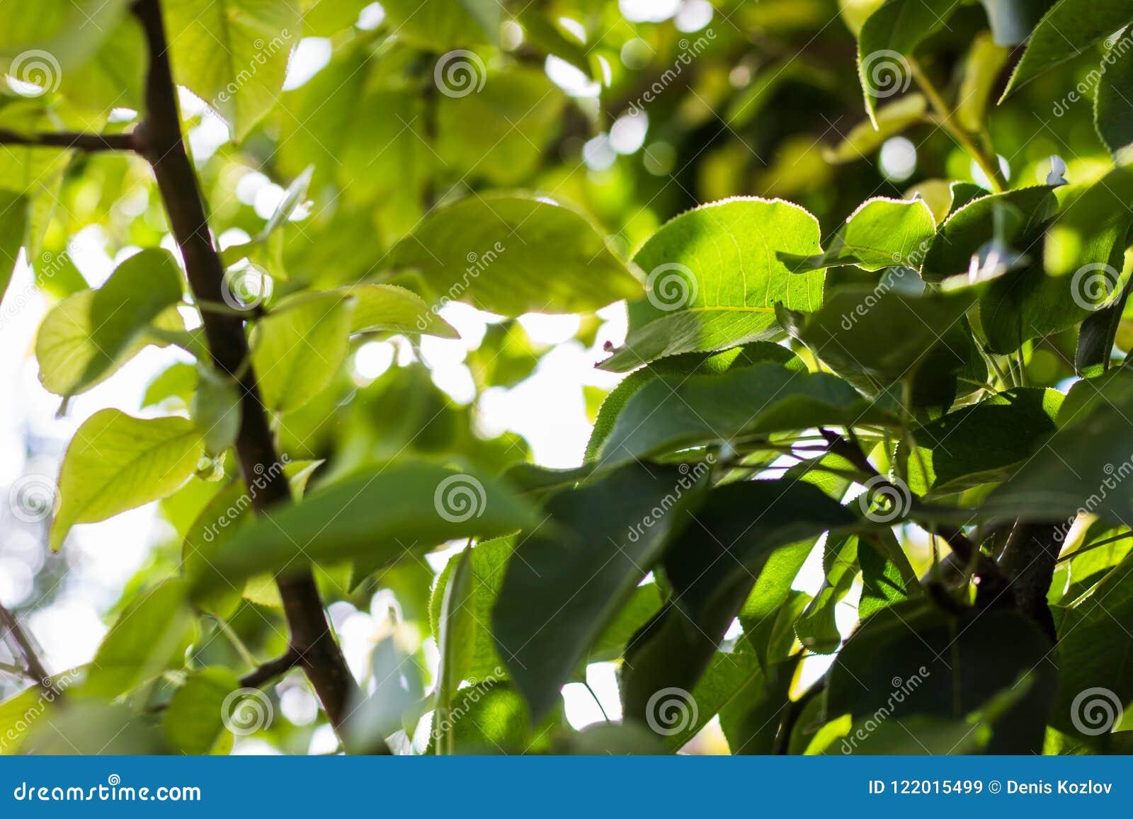Sprig för limefrukt för leaves för bakgrundslövverkgreen