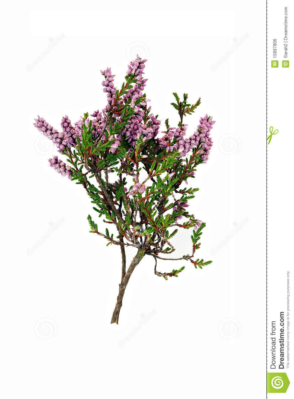 Heathers How to Grow and Care for Heather Plants Calluna