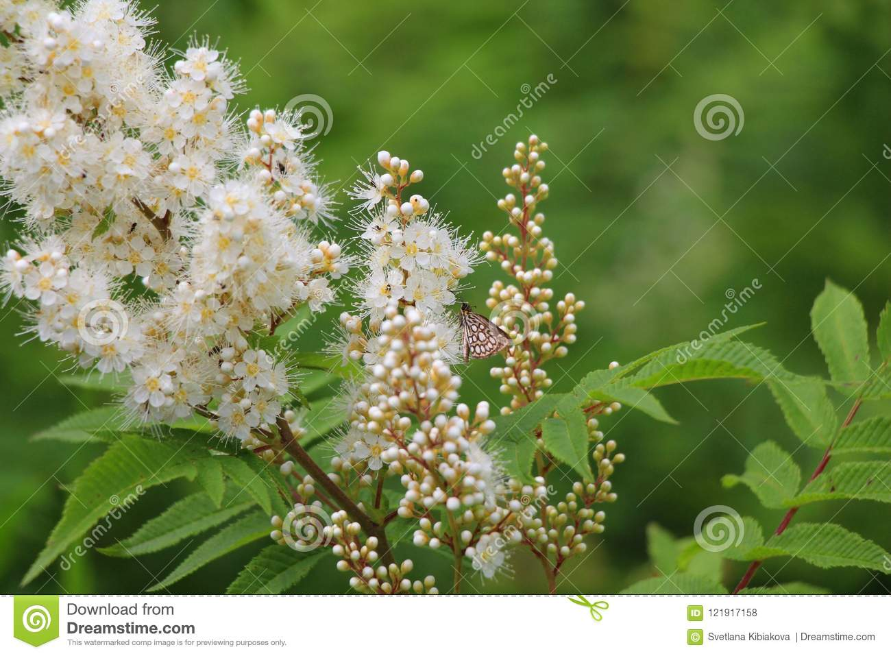 Sprigs With White Fluffy Flowers And Green Leaves Stock Photo