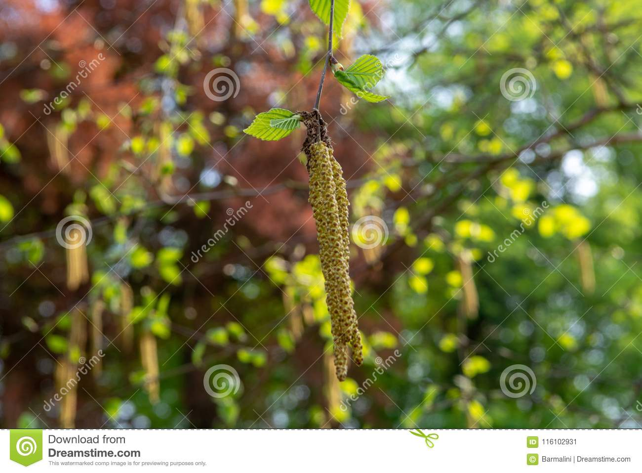 Spring Allergy Season With Young Birch Catkins Pollen Stock