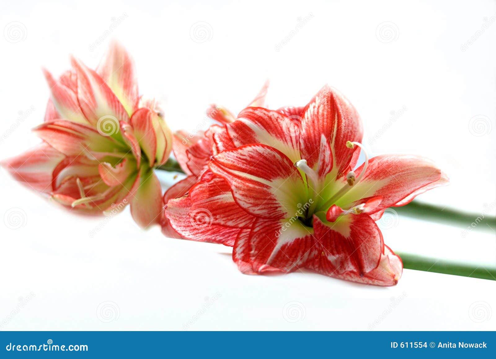 Spring Amaryllis