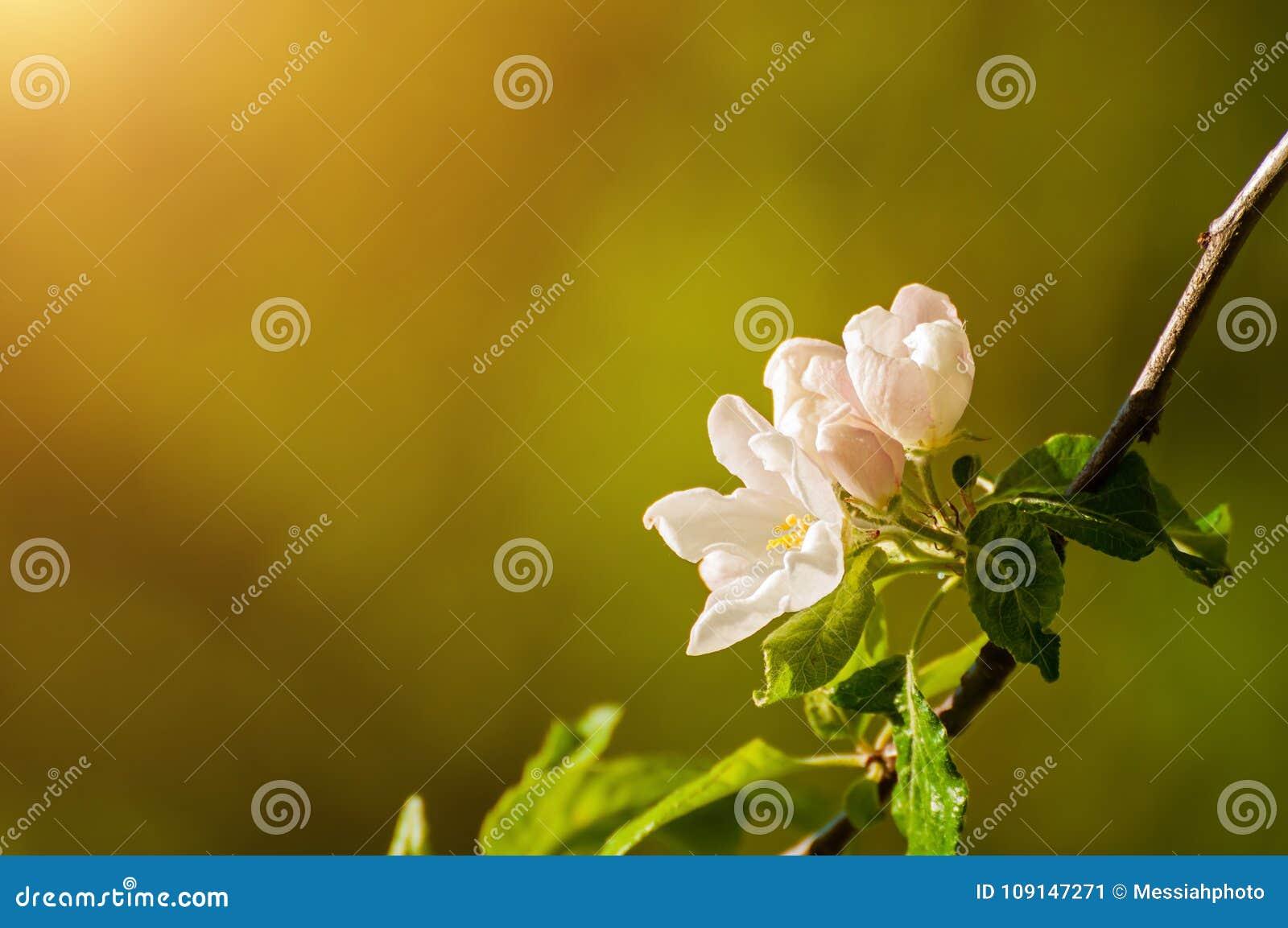 Spring Apple Flowers In Bloom Lit By Soft Sunlight Spring Flower