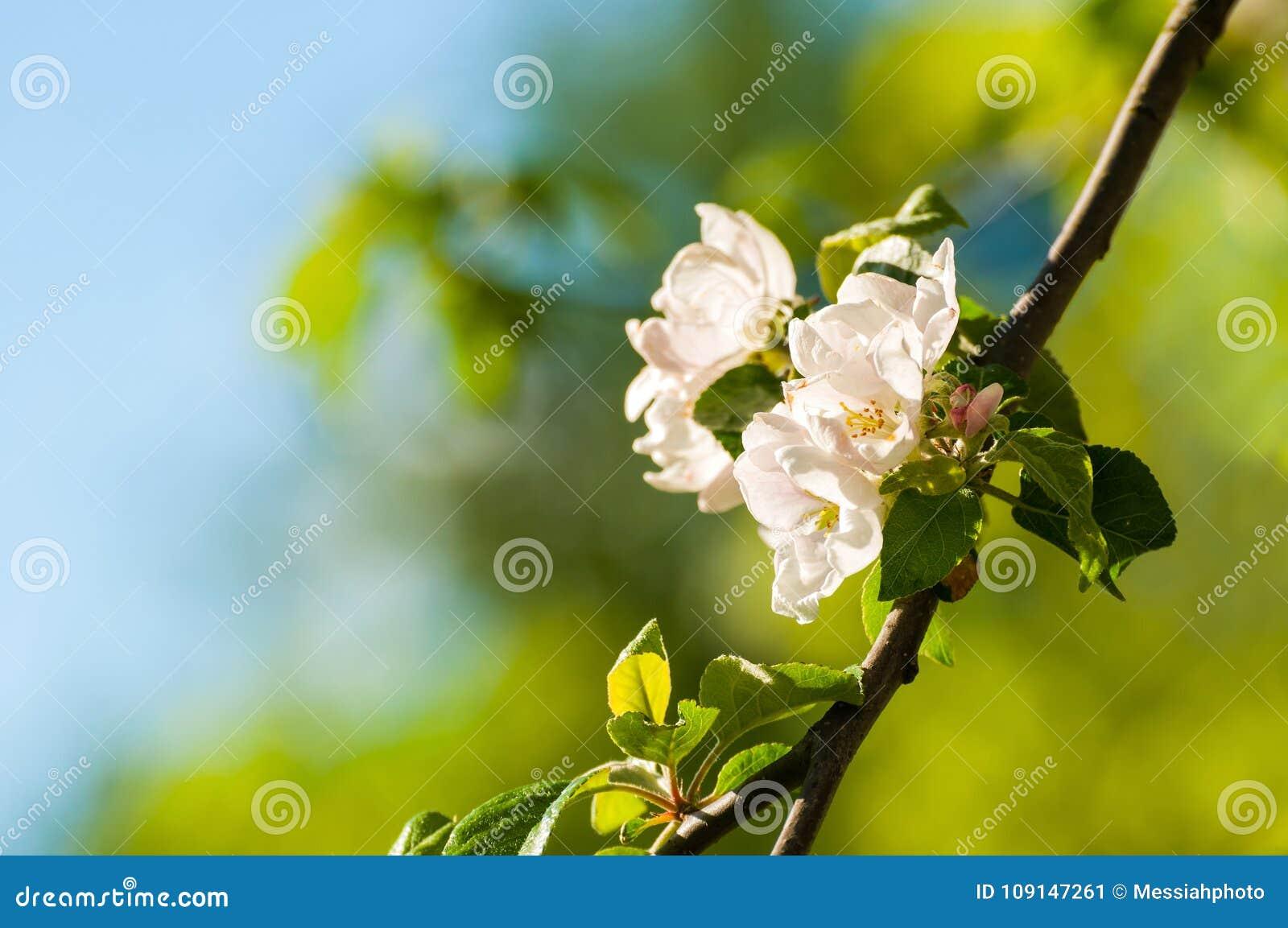 Spring Apple Flowers In The Garden Under Sunlight Spring Flower
