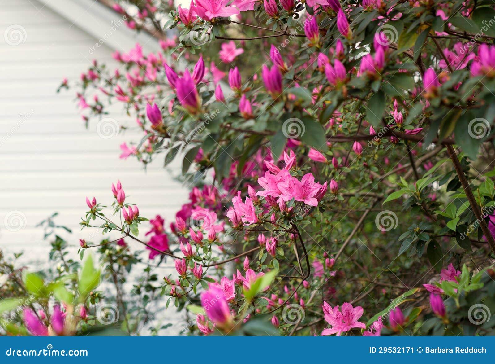 Spring azalea bush bursting with blossoms and new growth stock image download spring azalea bush bursting with blossoms and new growth stock image image of plant mightylinksfo