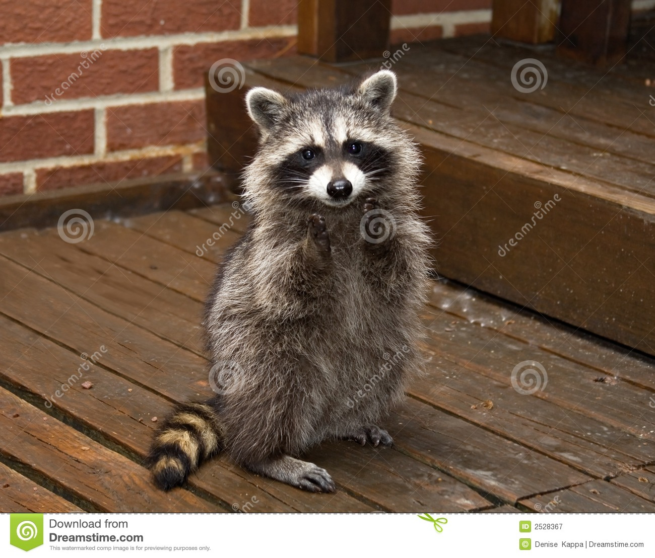 free hq baby raccoon - photo #6