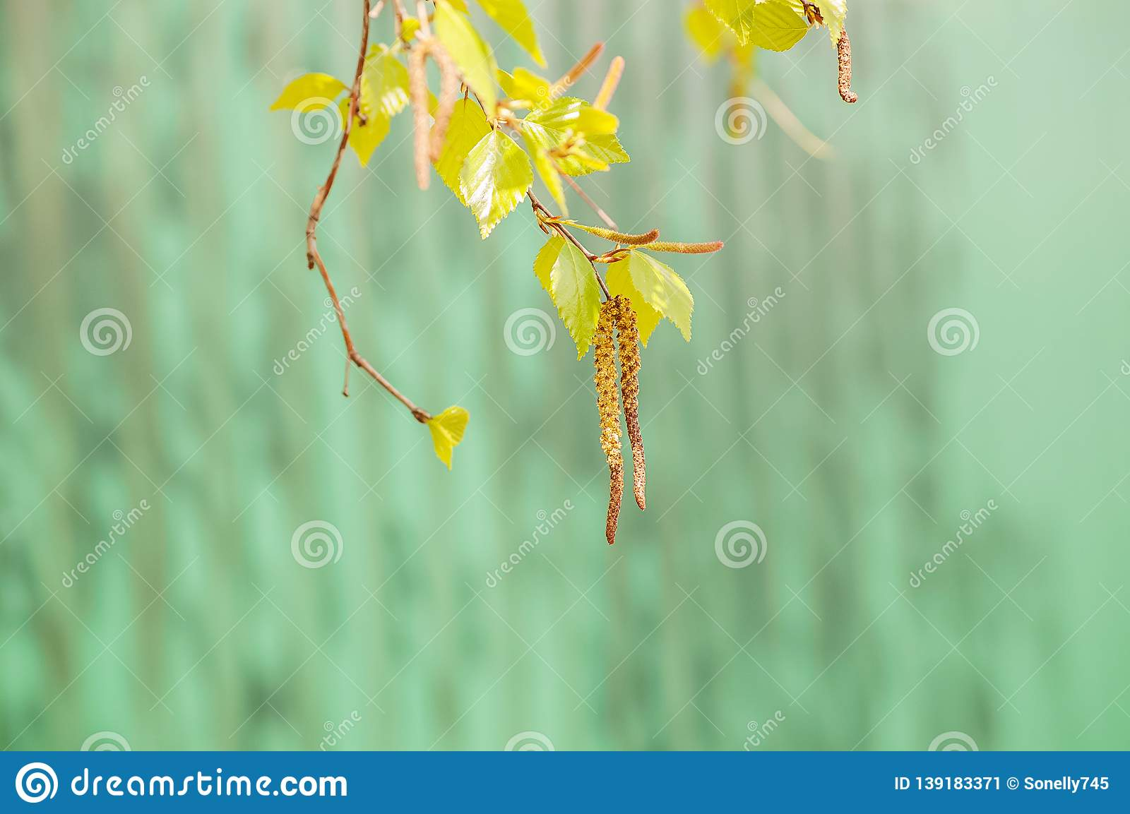 Spring background with blossoming birch closeup and copy space. Birch branch with earring on a green turquoise background