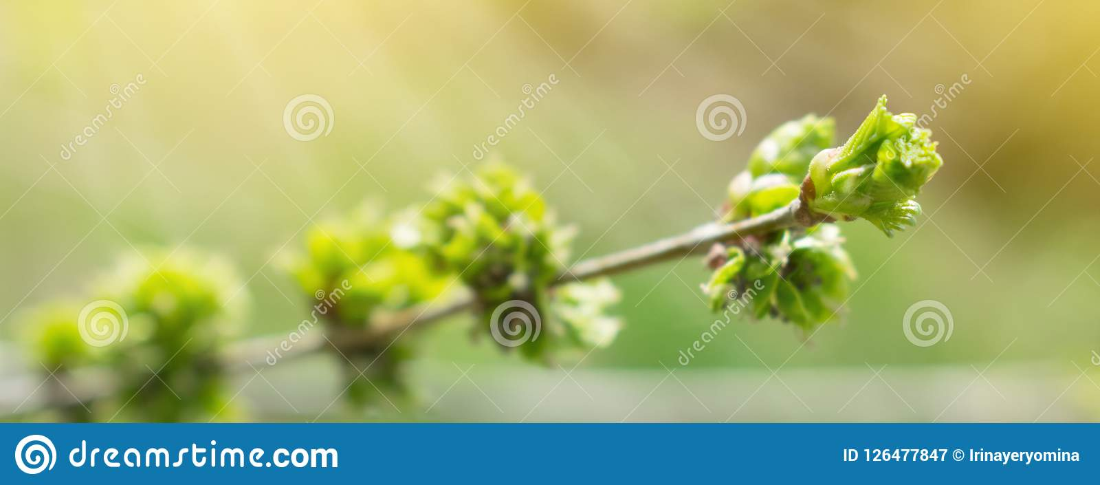 Spring background with branch and blooming young green leaves. C