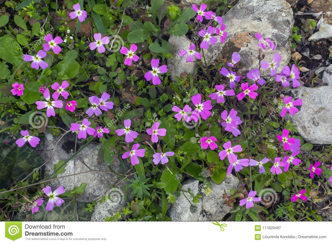 Spring background . Delicate first flowers among the stones on t