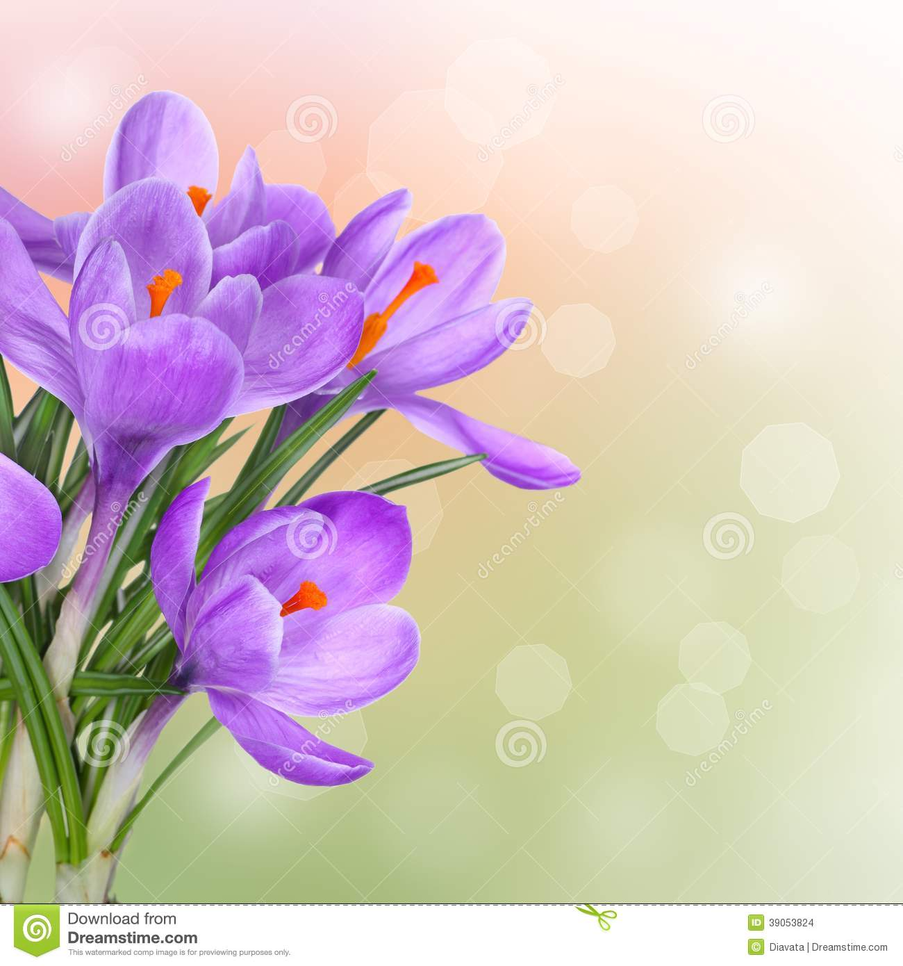 Spring background with purple crocus flowers