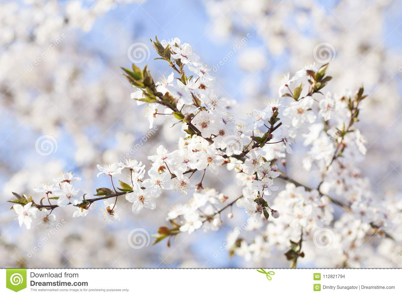 Spring beauty blooming white flowers of trees on the blue sky b download spring beauty blooming white flowers of trees on the blue sky b stock photo mightylinksfo