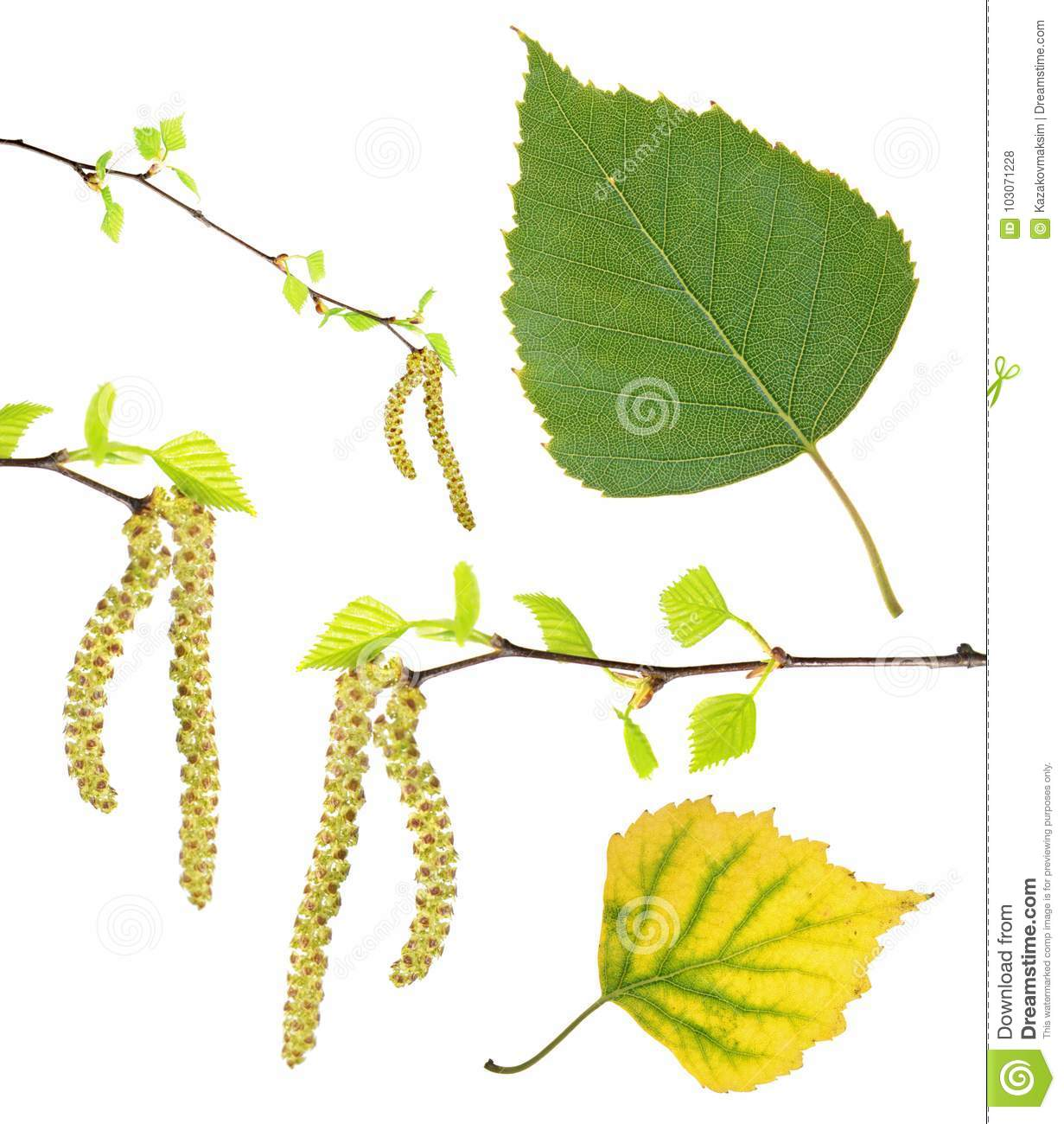 Spring birch branches with catkins, green summer and yellow autumn leaf isolated on white
