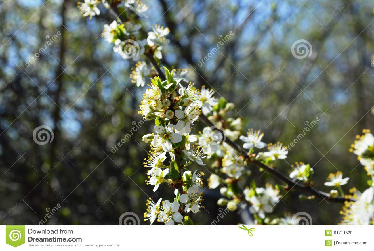 The Spring Bloom In Russia Of The Cherry Trees White Flowers Stock ...