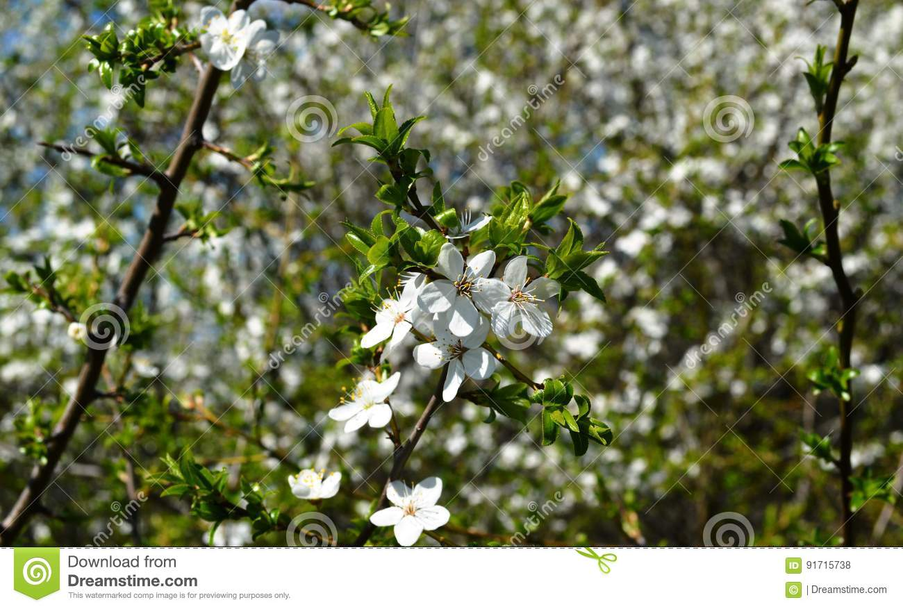 The Spring Bloom In Russia Of The Cherry Trees White Flowers Stock