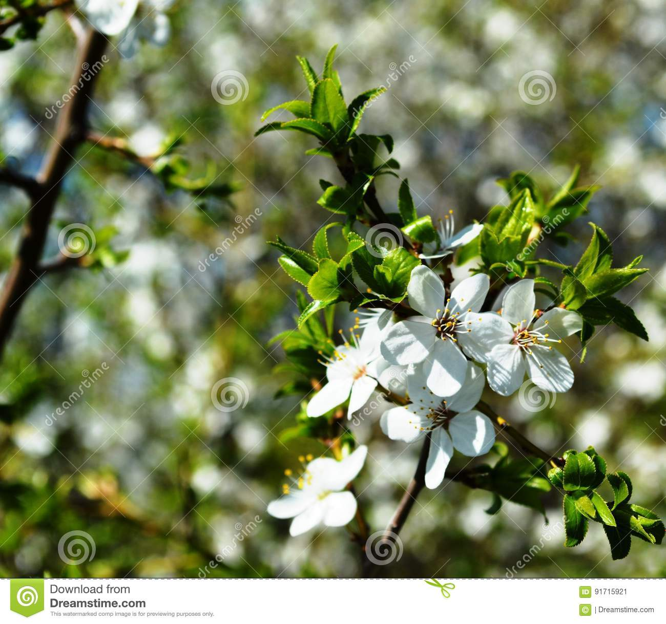 The spring bloom in russia of the cherry trees white flowers stock beauty bloom cherry flowering flowers russia shrubs spring trees white mightylinksfo