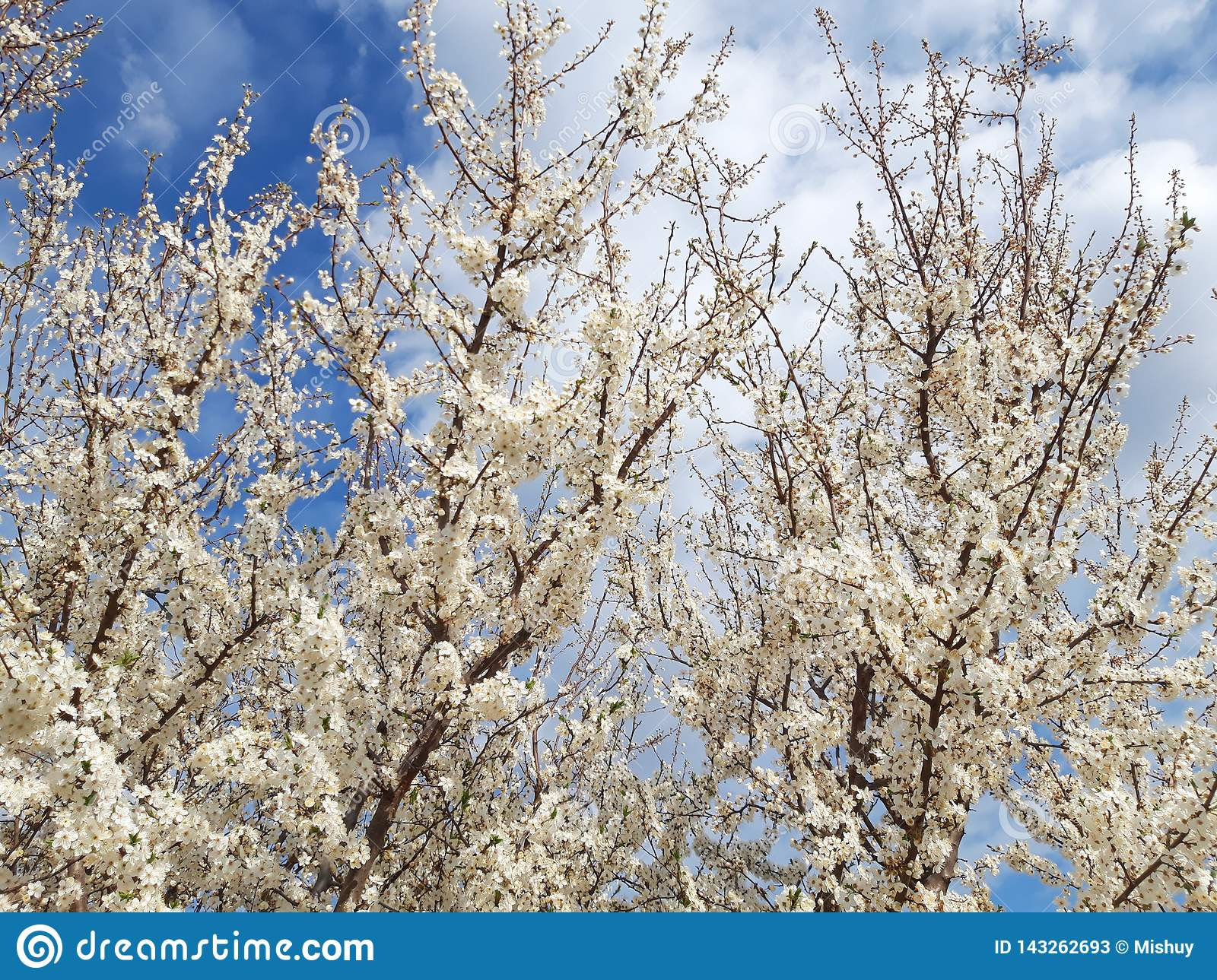 Branches Tree Bloom White Flowers Spring Stock Image Image Of