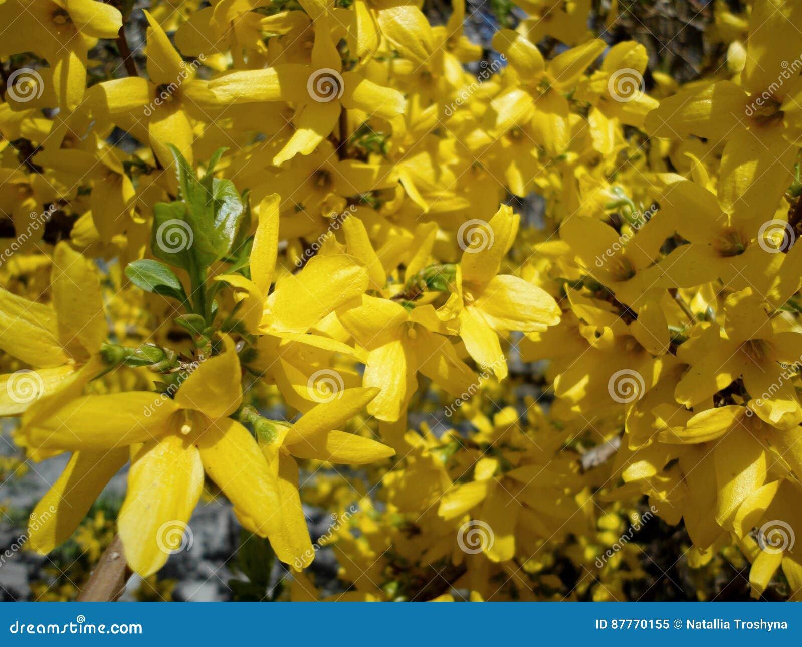 Spring blooming bush yellow flowers stock image image of spring blooming bush yellow flowers mightylinksfo
