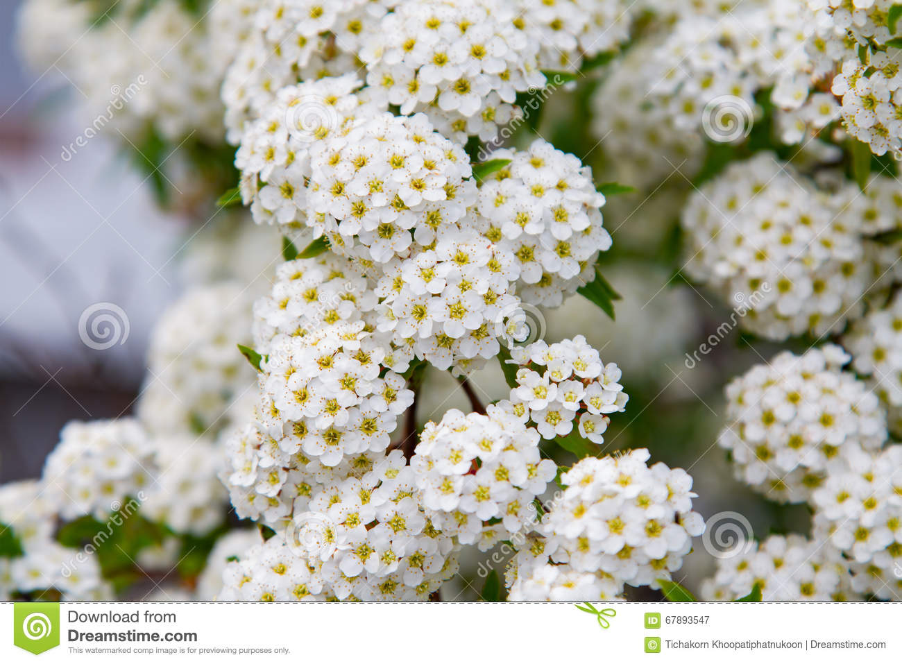 Spring Blooming Guelder Rose Shrub Round White Flowers Stock Image