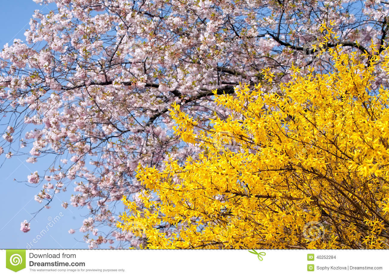 Spring blooming trees stock photo image of cherry nature 40252284 - Trees that bloom yellow flowers ...