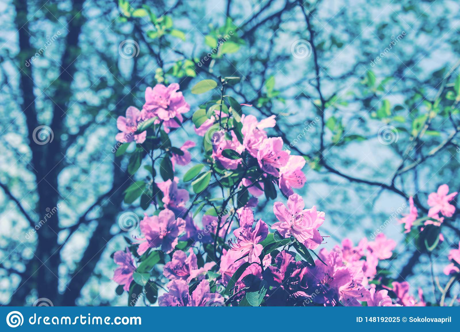 Blooming tree flowers in pink spring season of nature beauty. Spring flower landscape.Floral nature background, free space for tex
