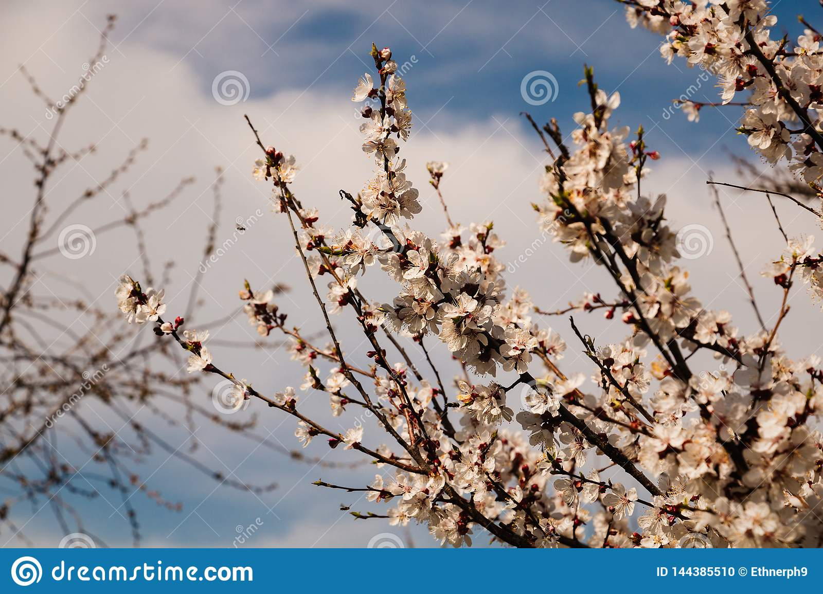 Spring blossom background. Beautiful nature scene with blooming tree and sun flare. Sunny day.
