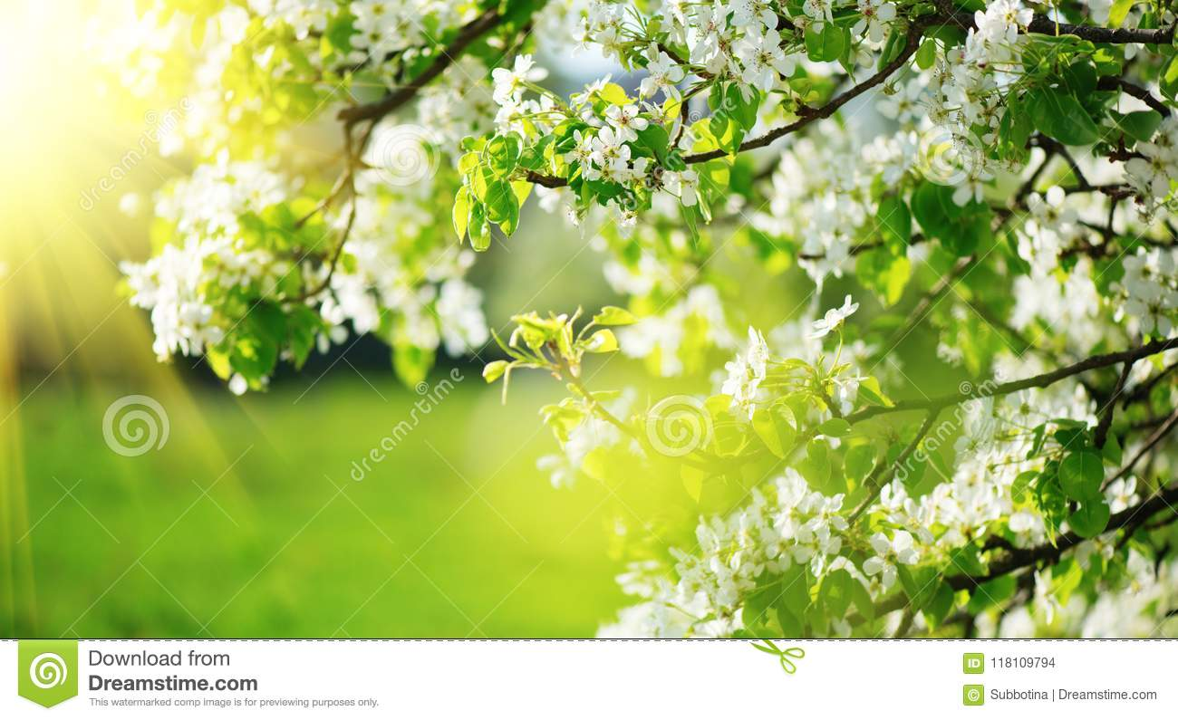 Spring blossom background. Nature scene with blooming tree and sun flare. Spring flowers