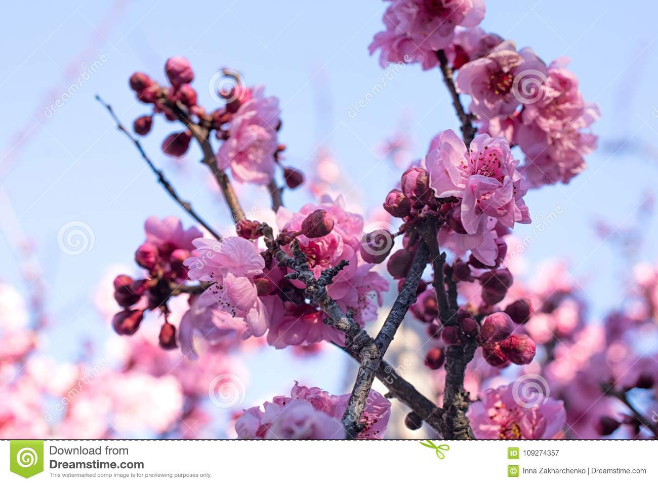Spring Blossom Cherry Tree Branches Japanese Pink Flowers On B