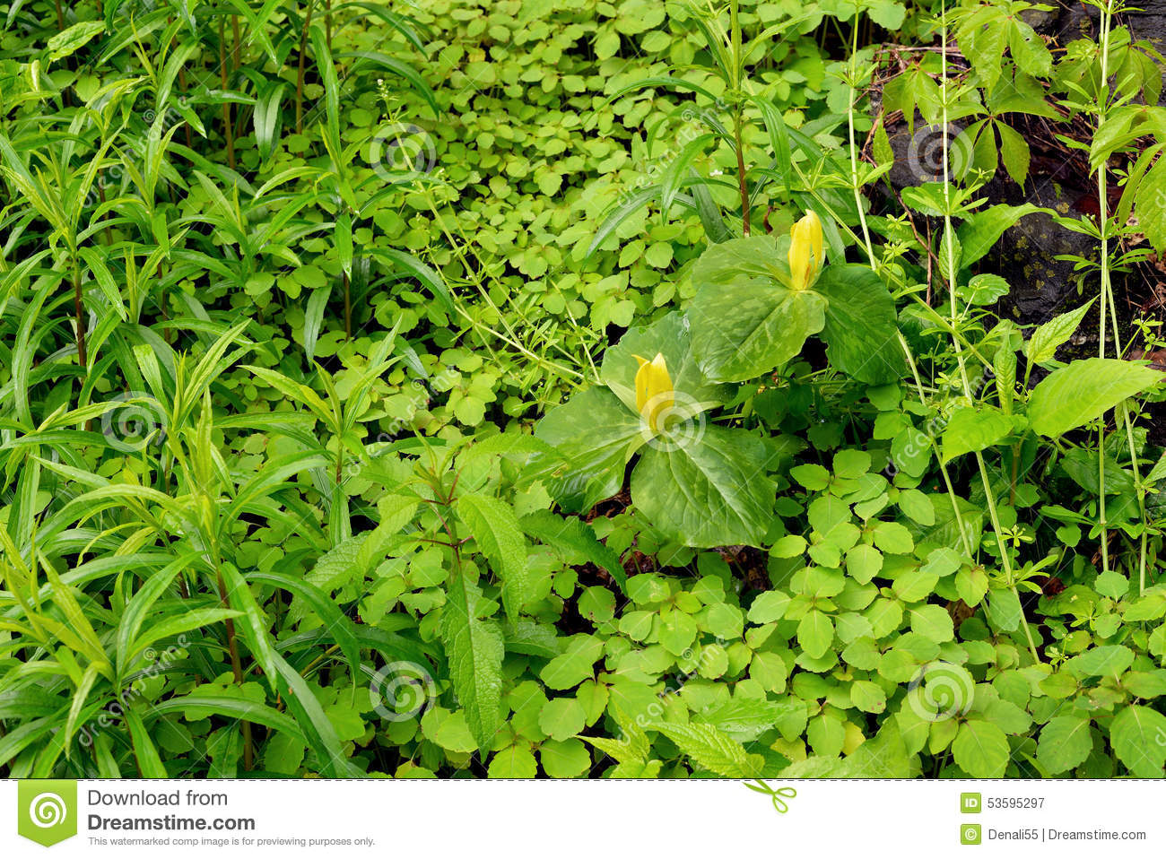Spring Blossomground Cover Stock Image Image Of National Yellow