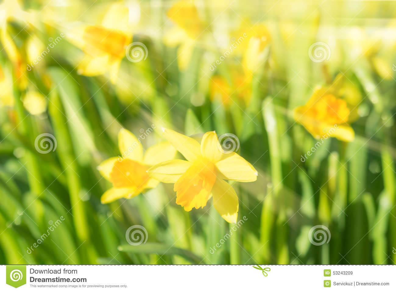 Spring blossom narcissus daffodils yellow sunlit flowers