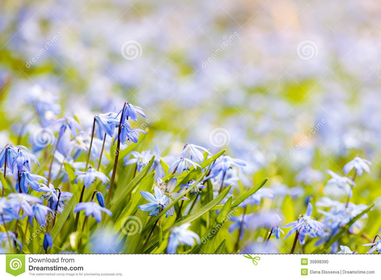 Spring blue flowers stock photo image 30898390 blooming blue closeup copy early flowers meadow space spring dhlflorist Choice Image