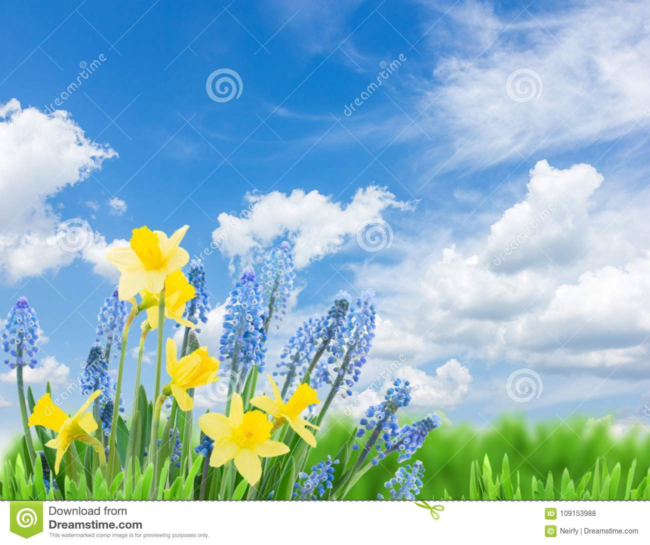 Spring Bluebells And Daffodils Stock Photo - Image of ...