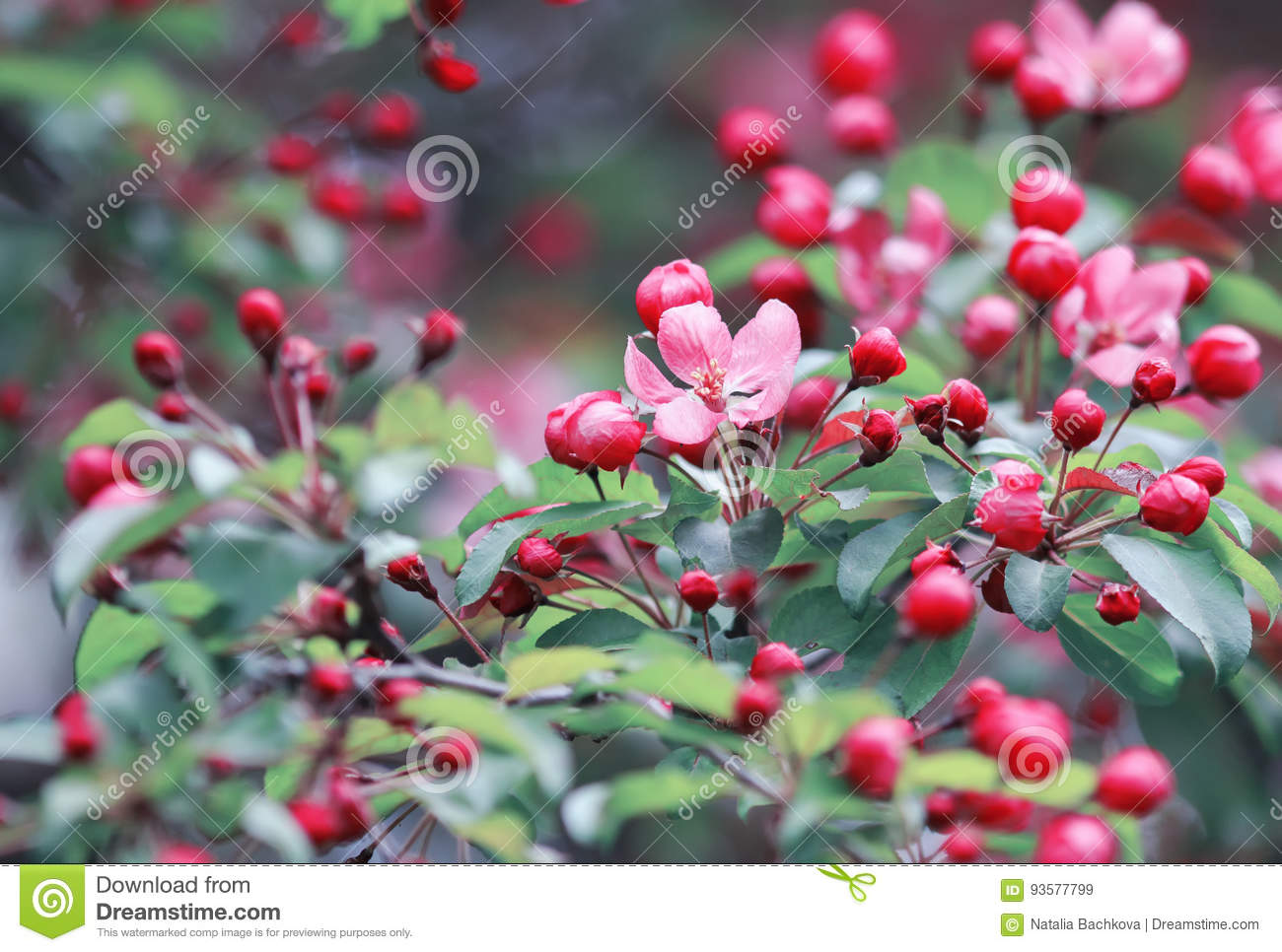 Spring Branch Of Tree With Beautiful Bright Pink Flowers Stock Image