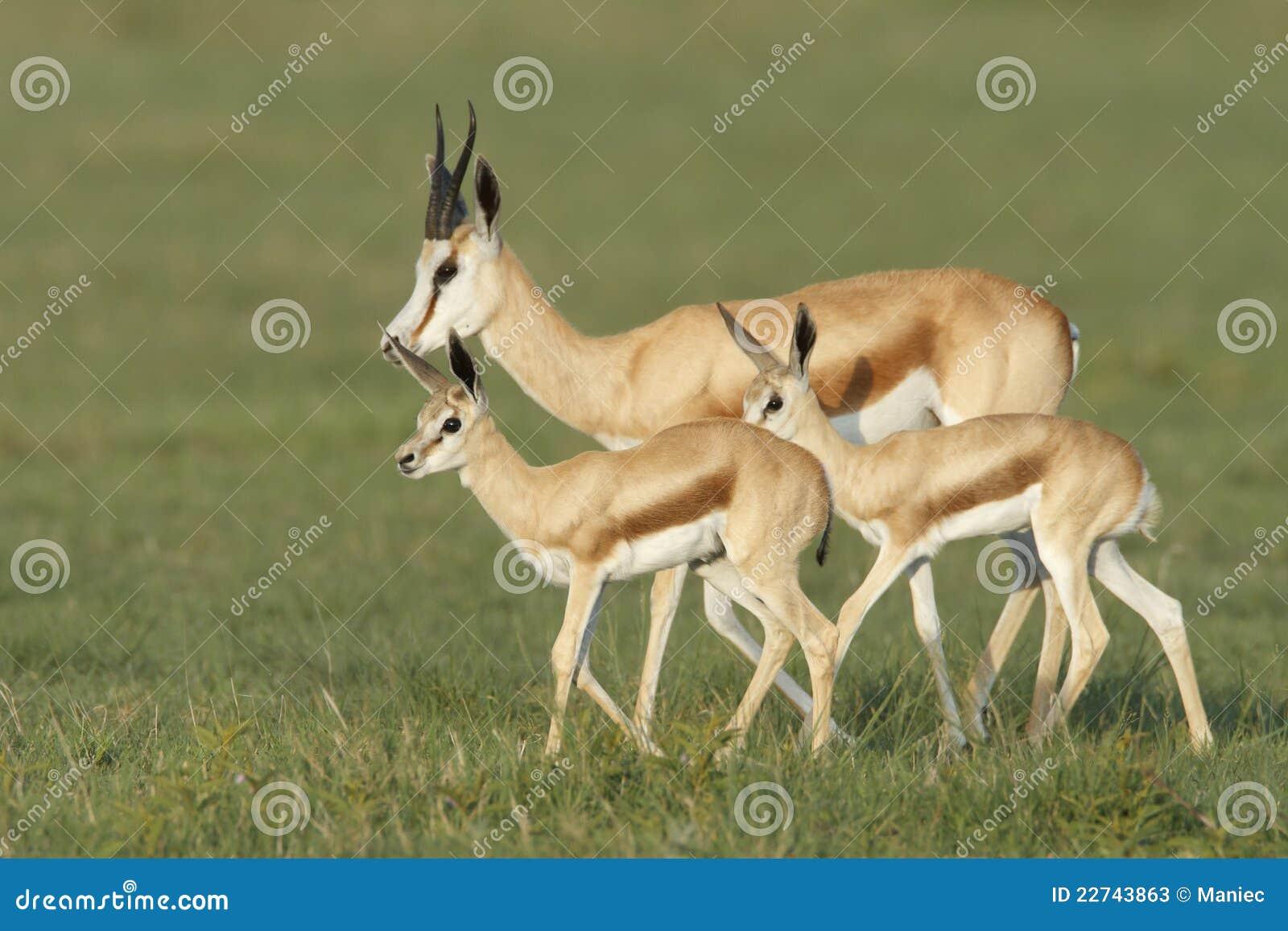Spring Buck Family Stock Photos - Image: 22743863