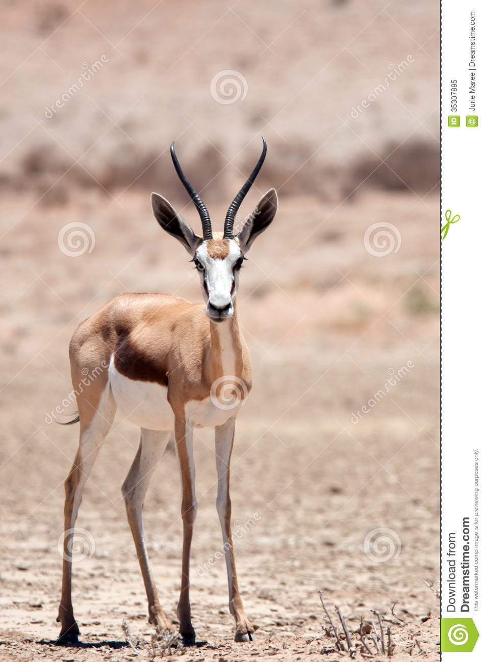 Spring Buck Royalty Free Stock Photo - Image: 35307895