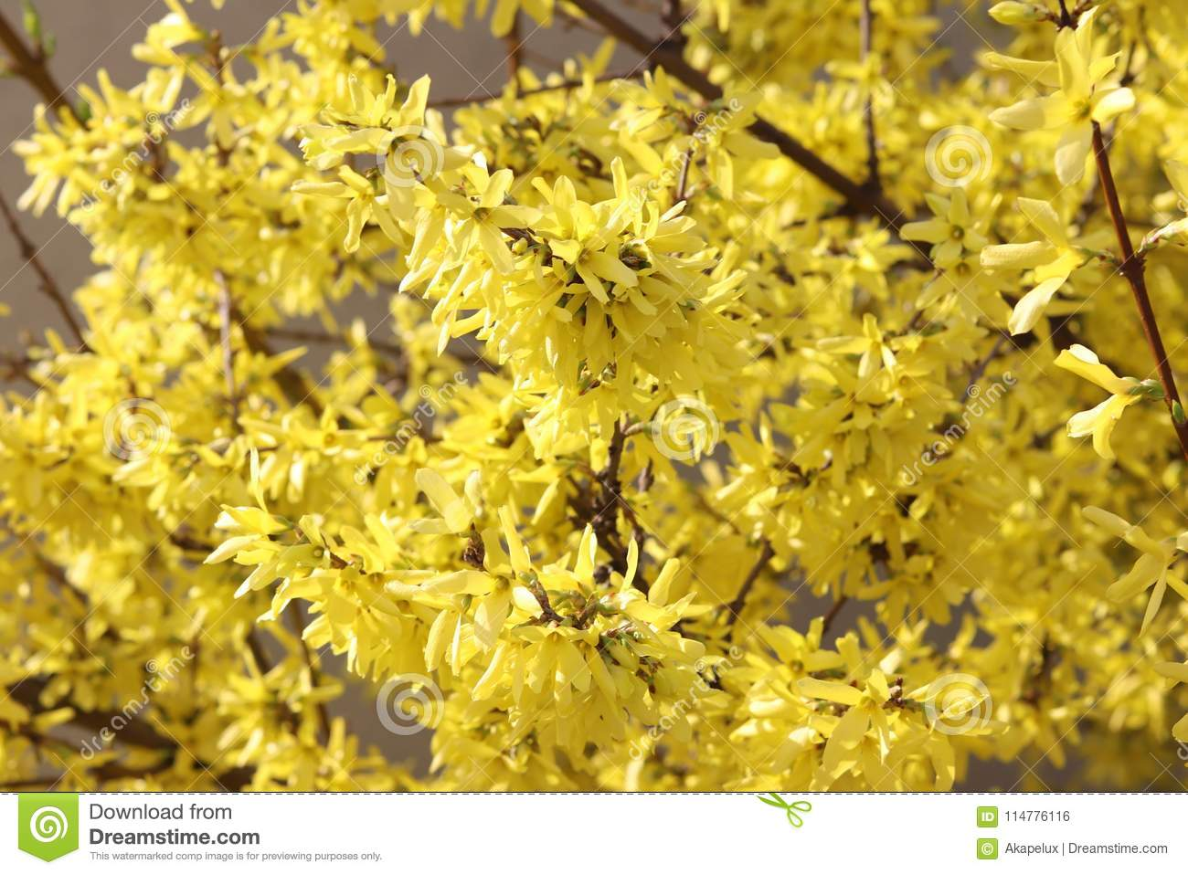 The Spring Bush Is Forsythia Yellow Flowers In Sunlight A Good Mood