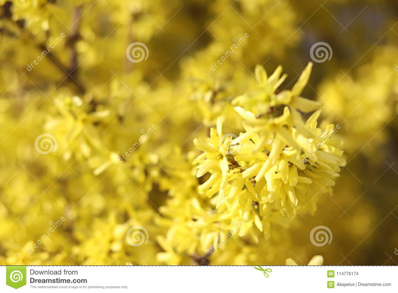 The spring bush is forsythia yellow flowers in sunlight a good mood download the spring bush is forsythia yellow flowers in sunlight a good mood european mightylinksfo