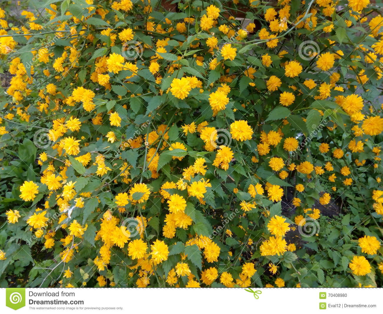 Spring Bush With Yellow Flowers And Green Leaves Stock Photo Image