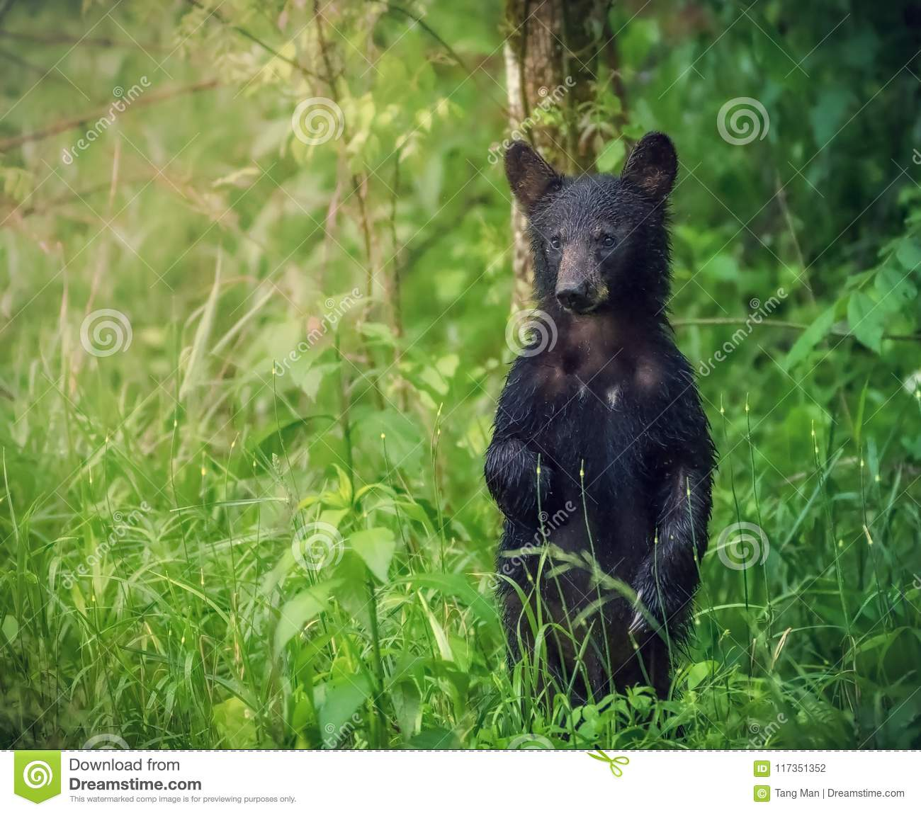 An american black bear stands and looks at the tourists at Great Smoky Mountains National Park