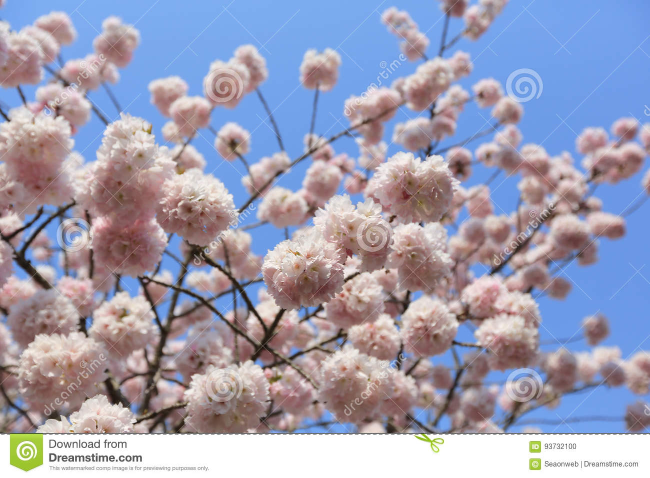 Spring cherry blossoms pink flowers stock photo image of branch spring cherry blossoms pink flowers mightylinksfo