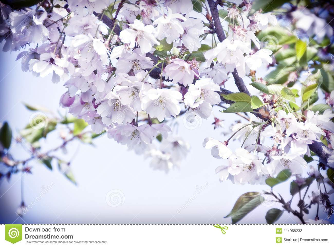 Spring Cherry Tree In Bloom With Pink Flowers Stock Photo Image Of