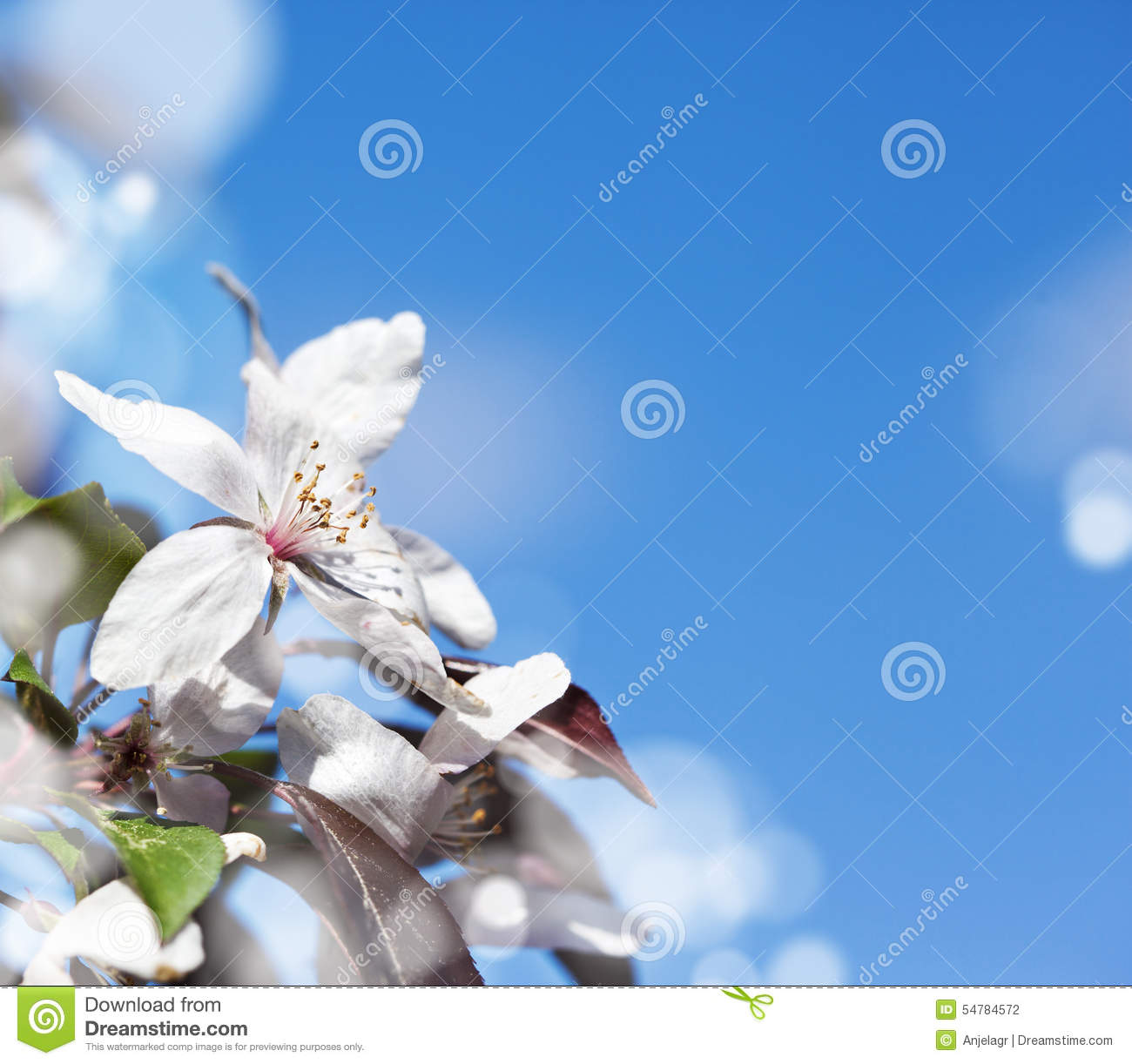 Spring cherry white flower on blue sky background copy space for text
