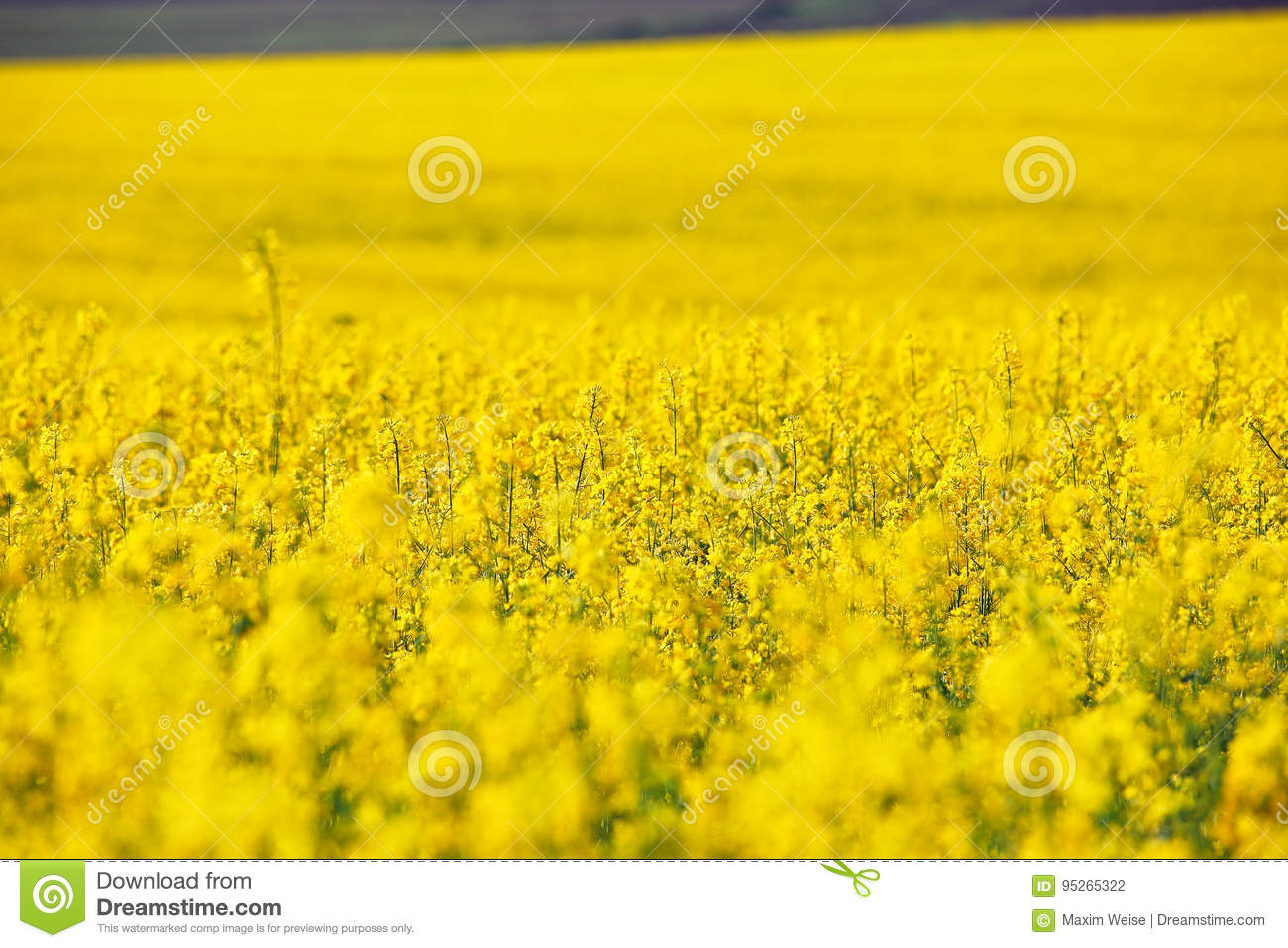 Fiori Gialli Campagna.Spring Colza Fields Blooming Yellow Flowers Stock Photo Image