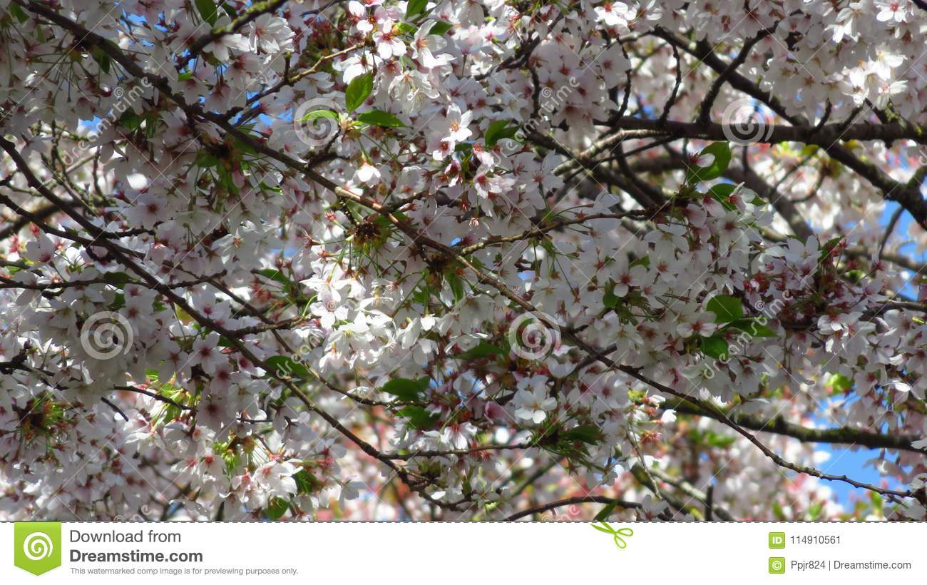 Pink And White Blossom On Spring Blooming Tree Stock Image Image