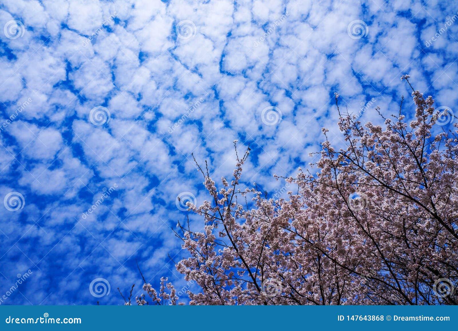 Blue sky full of cherry blossoms