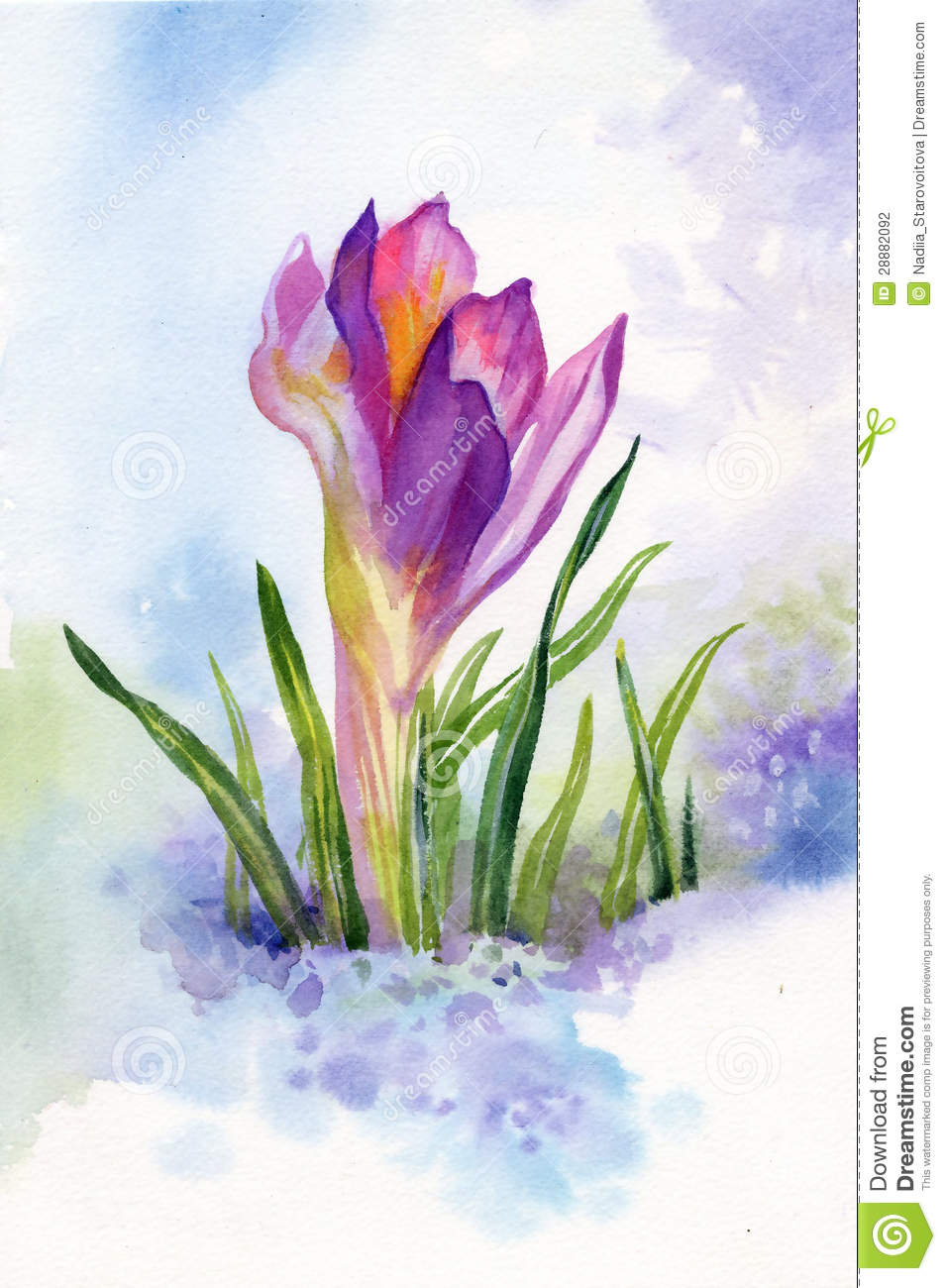 Spring Crocus Flowers In Snow Stock Illustration Illustration Of