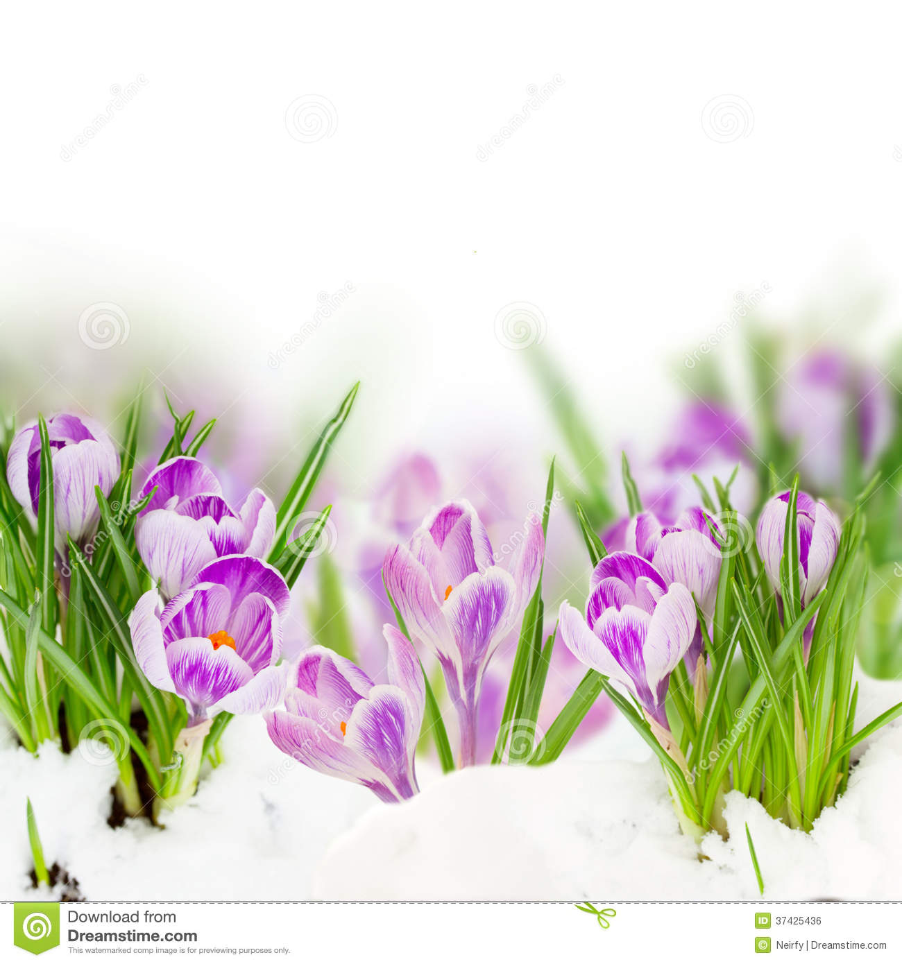 Spring Crocuses Royalty Free Stock Image - Image: 37425436