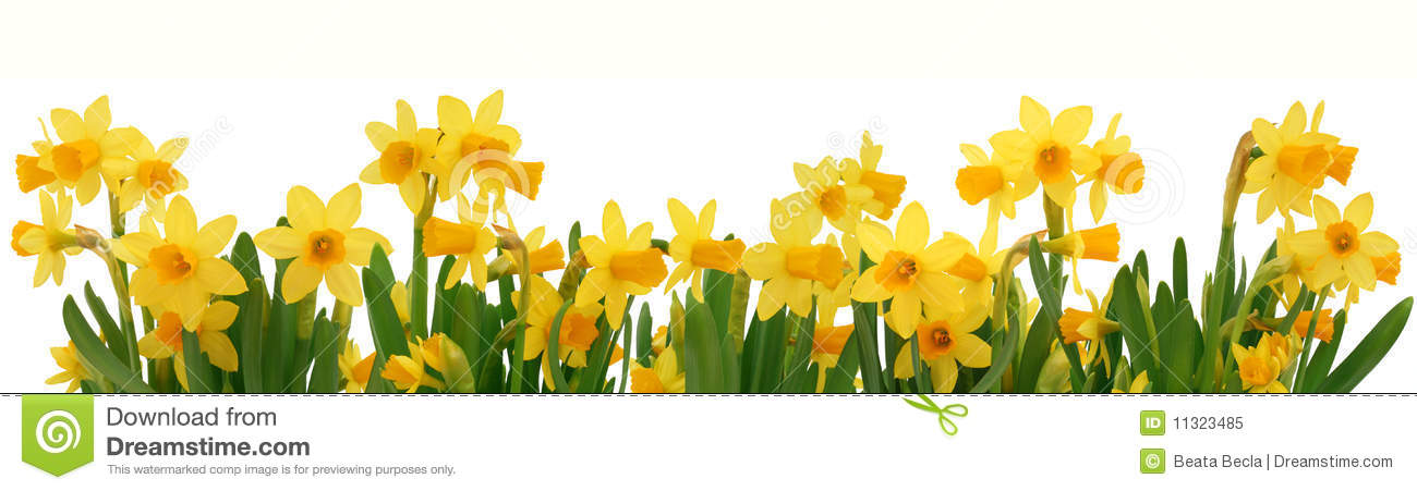 Spring Daffodils Border Stock Image Image Of Narcissus